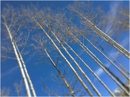 Aspens in the afternoon
